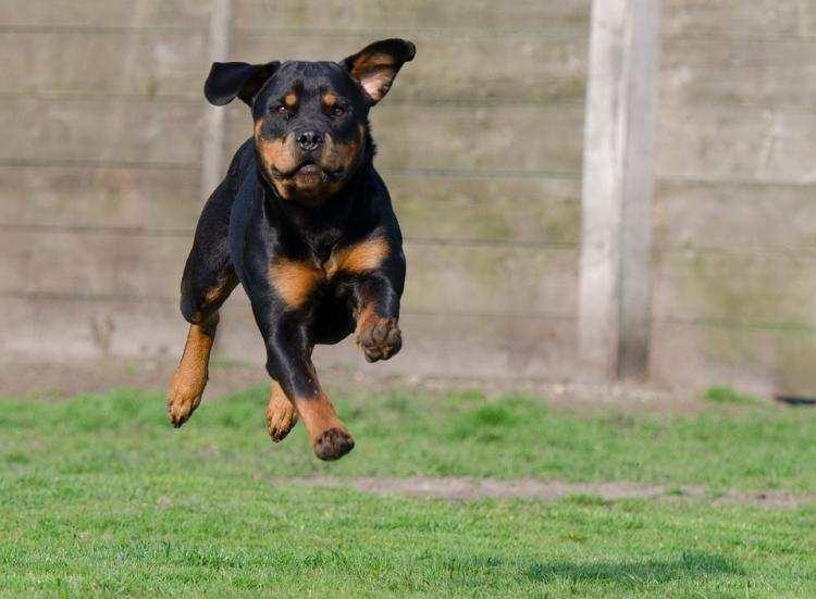 Informacje lokalne, Rottweiler który pogryzł latka Kowalu trafił obserwację dalej - zdjęcie, fotografia