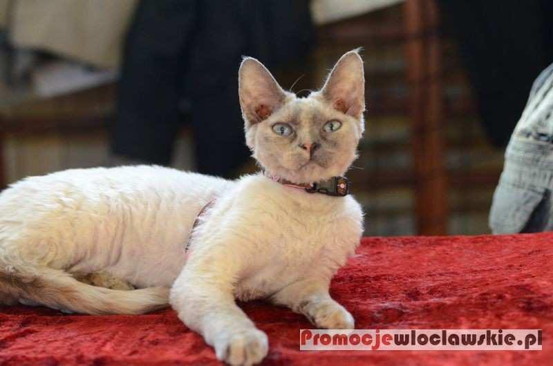 Wydarzenia_, Pokaz Kotów Rasowych Włocławku - zdjęcie, fotografia