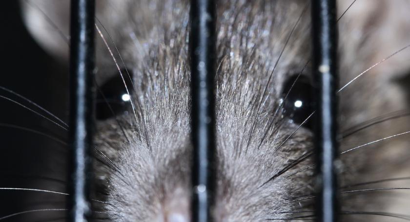 Sprawy kryminalne - kronika, Włocławek walczy szczurami Ruszyła deratyzacja Będą kontrole - zdjęcie, fotografia