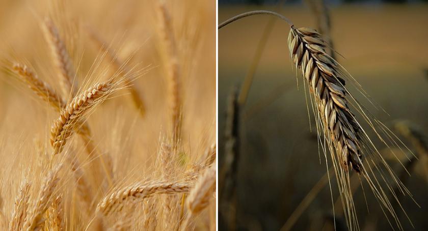 Rolnictwo, Termin składania wniosków suszowych znów przedłużony Można składać ARiMR - zdjęcie, fotografia