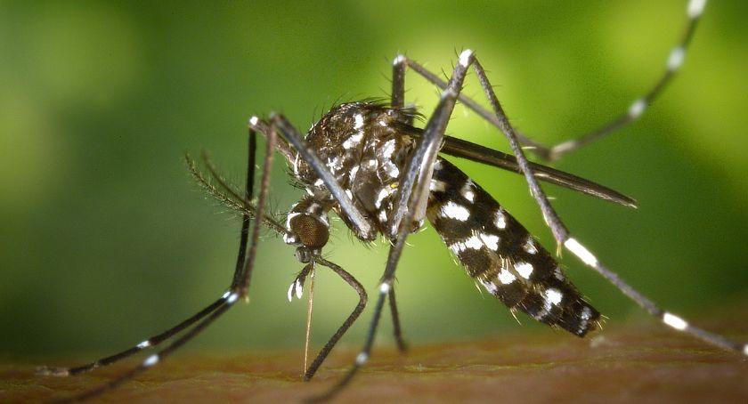 Polecamy, Inwazja komarów Polsce Włocławku okolicach bronić - zdjęcie, fotografia