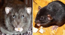 Włocławek walczy ze szczurami. Jak długo potrwa akcja?