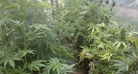 Kolejna plantacja marihuany w regionie. Pod folią znajdowało się ...