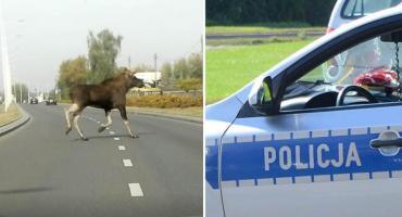 Łoś na drodze we Włocławku. Przebiegł tuż przed radiowozem [VIDEO]