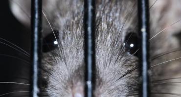 Włocławek walczy ze szczurami. Ruszyła deratyzacja. Będą kontrole