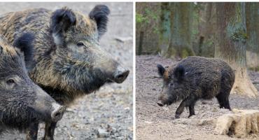 Zbiorowe polowania na dziki. Czy grozi nam afrykański pomór świń w regionie?