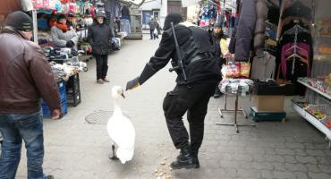 Łabędź na targowisku miejskim we Włocławku [FOTO]