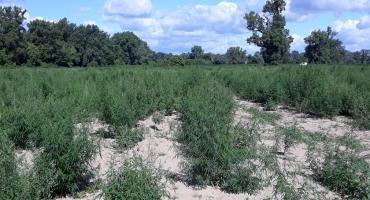 Kryminalni nad Wisłą ujawnili plantację marihuany. 15 tys krzewów na 4 ha wartą 5,5 mln [FOTO]